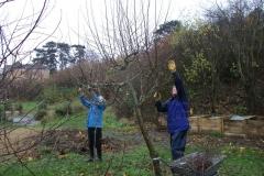 allington-green-apple-tree-pruning-002