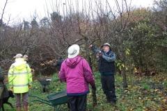 allington-green-apple-tree-pruning-003
