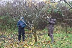 allington-green-apple-tree-pruning-004
