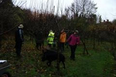 allington-green-apple-tree-pruning-006