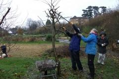 allington-green-apple-tree-pruning-009