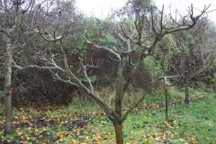 allington-green-apple-tree-pruning-011