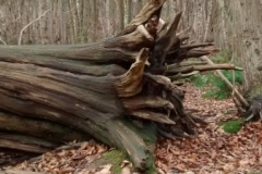 sweet-chestnut-fallen-root-base
